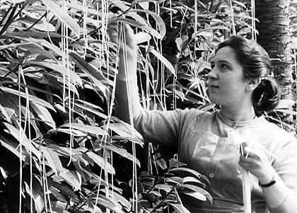 Spaghettiernte im Tessin - ein Aprilscherz der BBC 1957